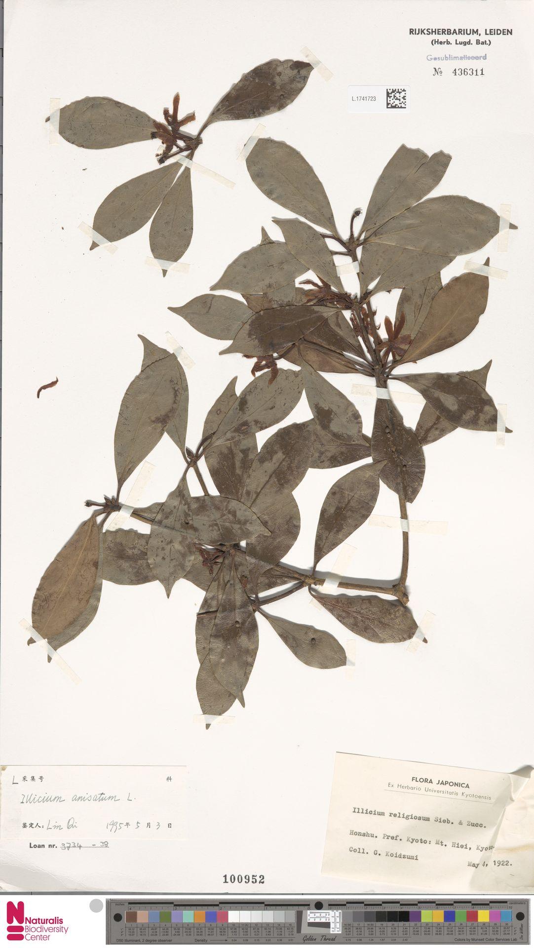 L.1741723 | Illicium anisatum L.