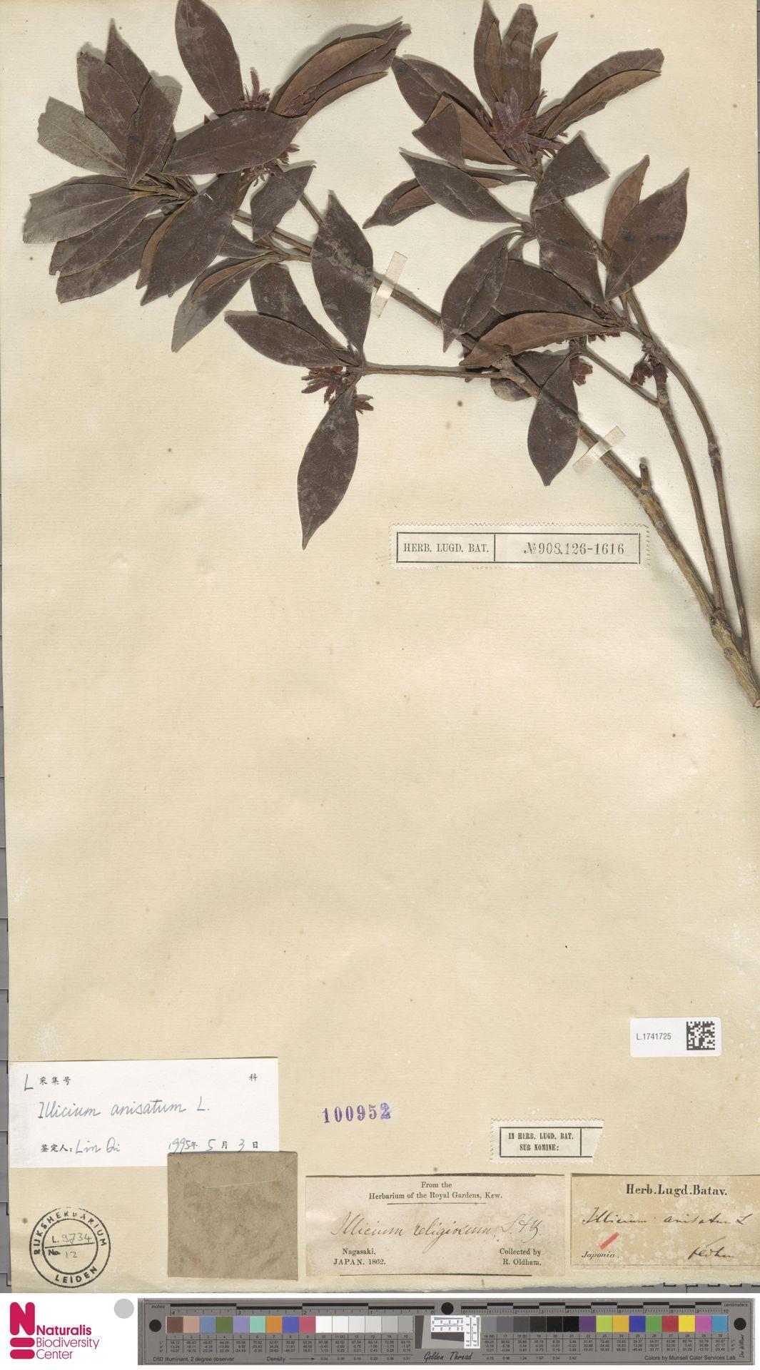 L.1741725   Illicium anisatum L.