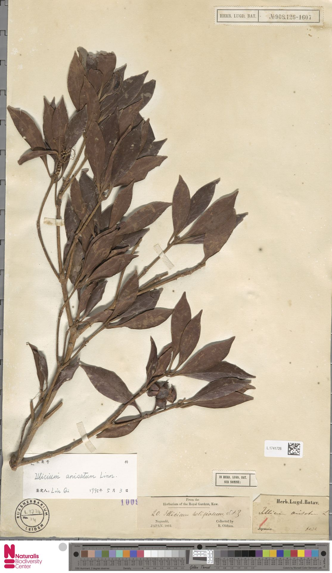 L.1741726   Illicium anisatum L.