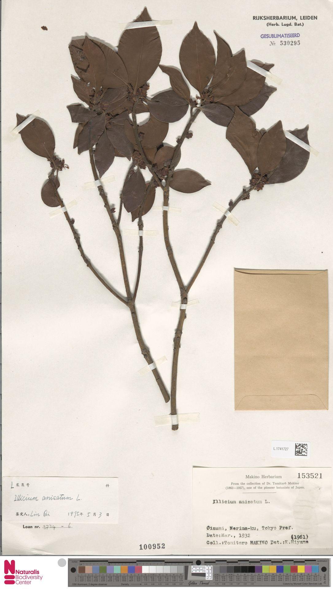 L.1741727   Illicium anisatum L.