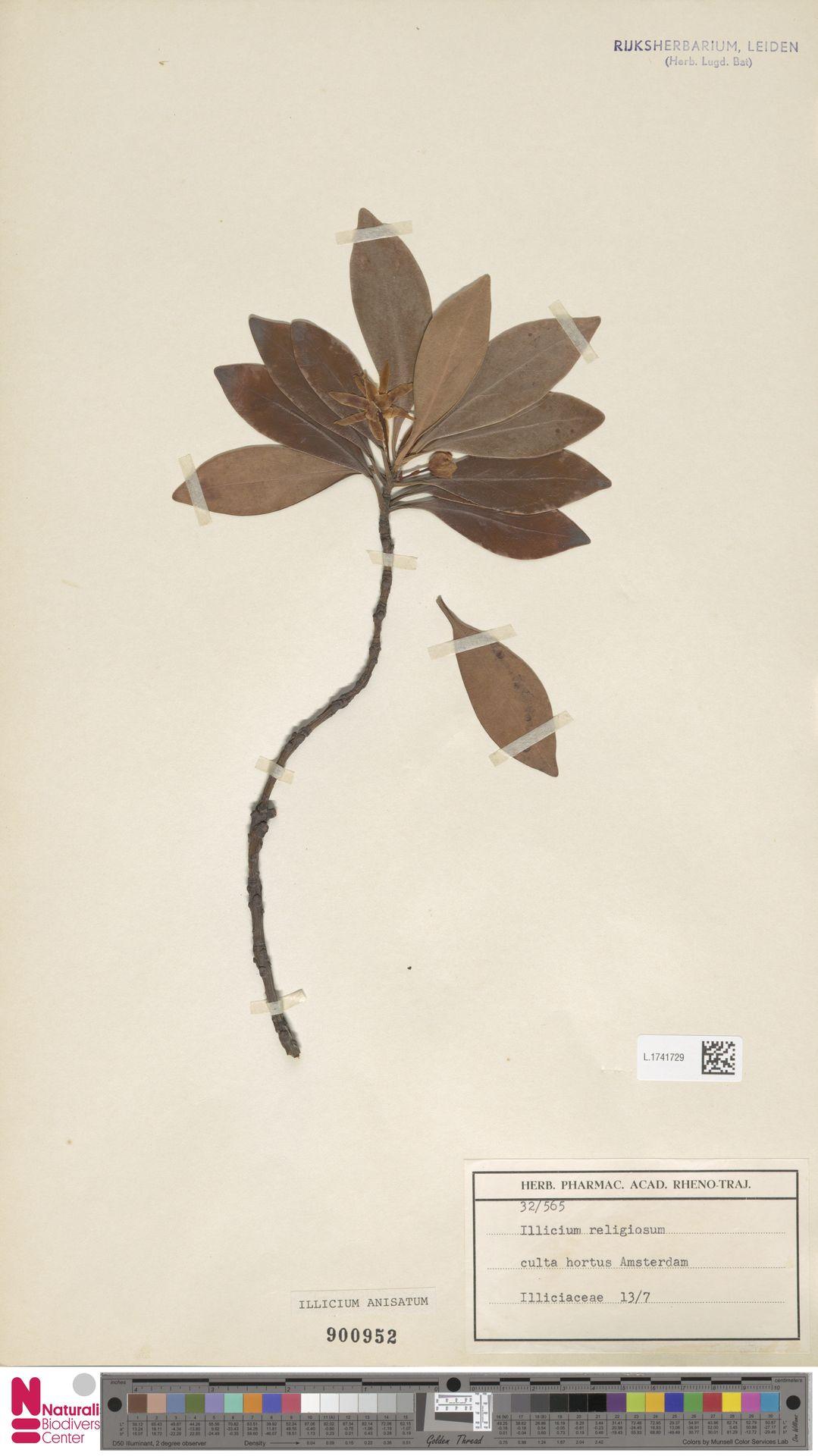 L.1741729 | Illicium anisatum L.