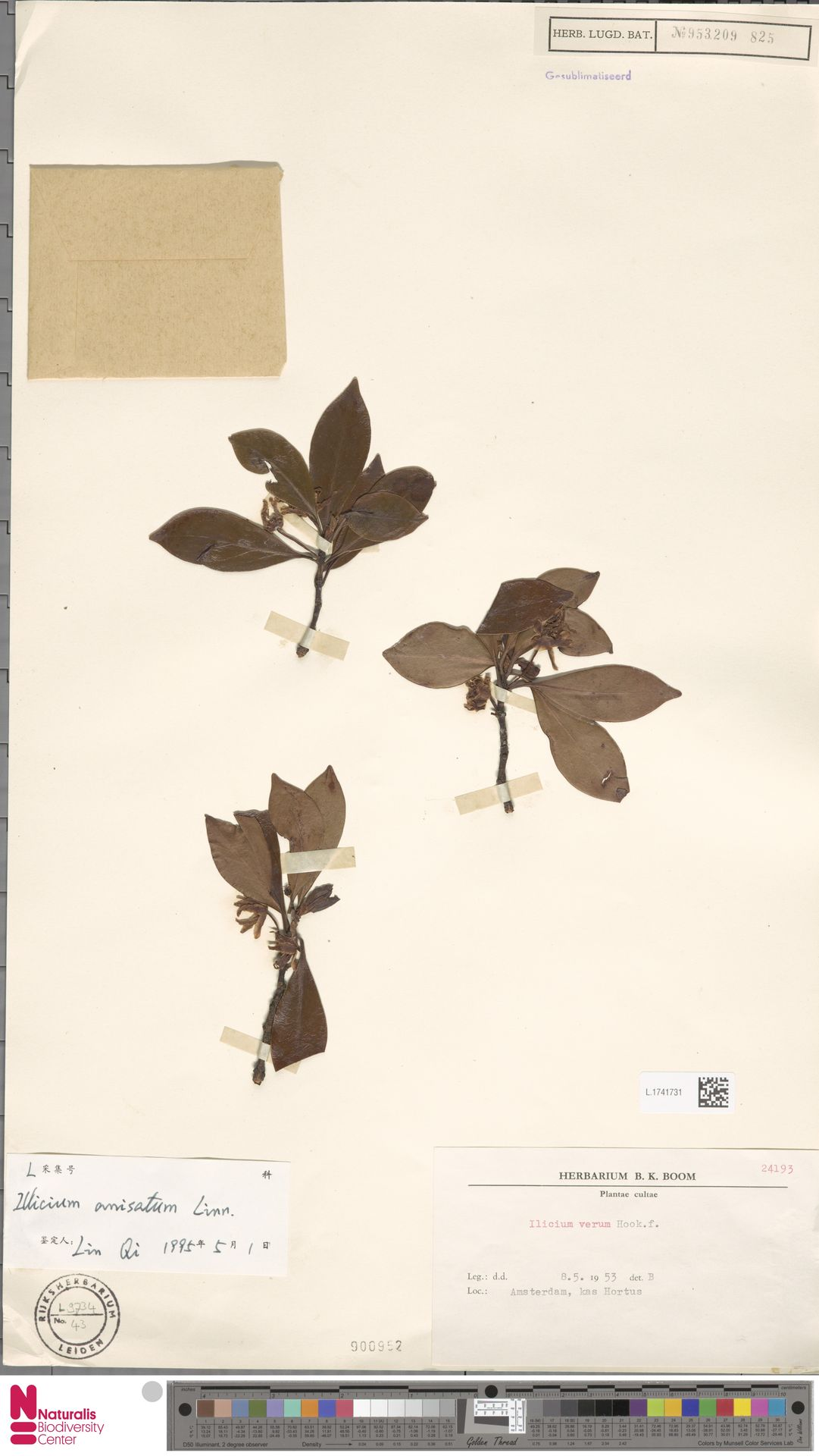 L.1741731 | Illicium anisatum L.