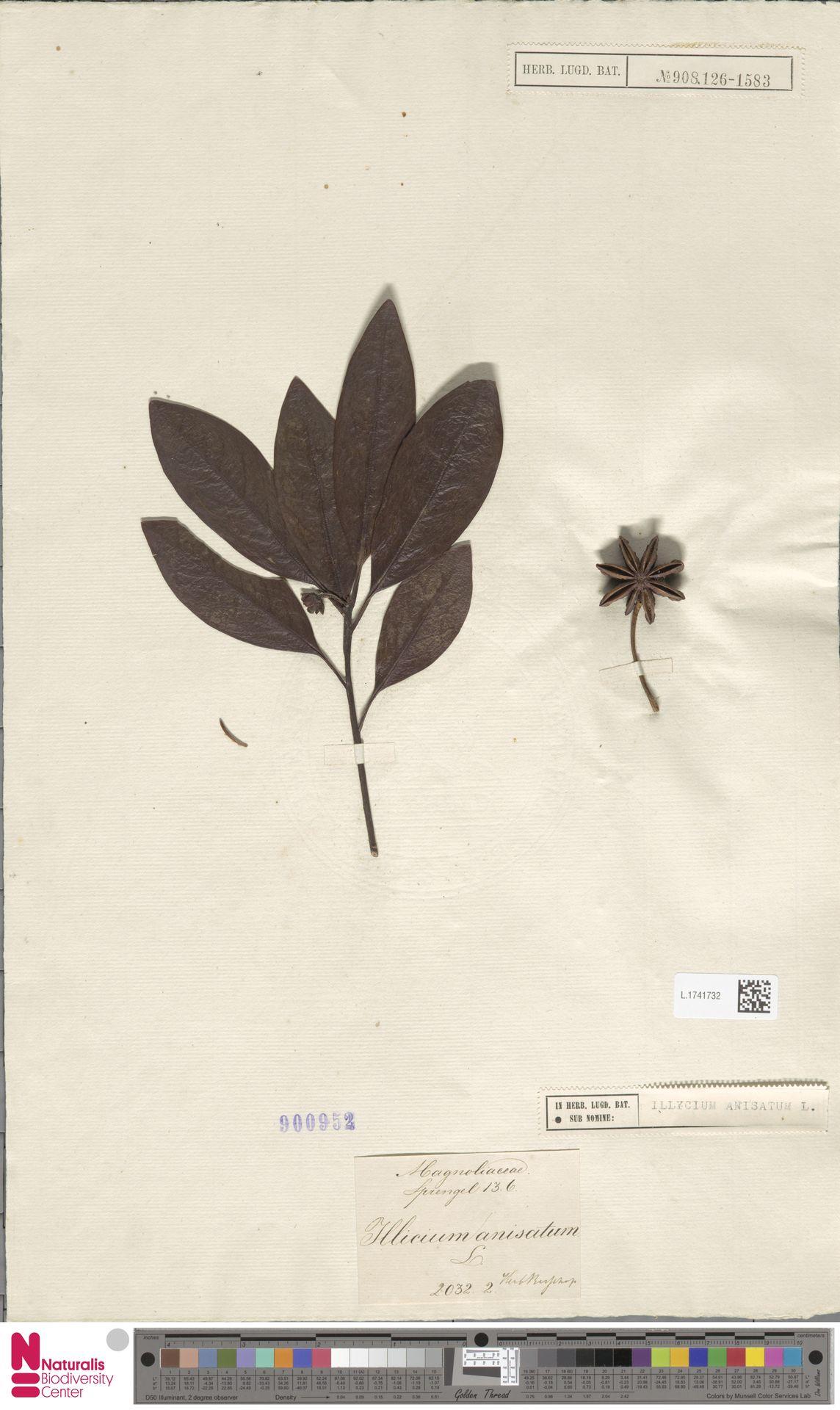 L.1741732 | Illicium anisatum L.