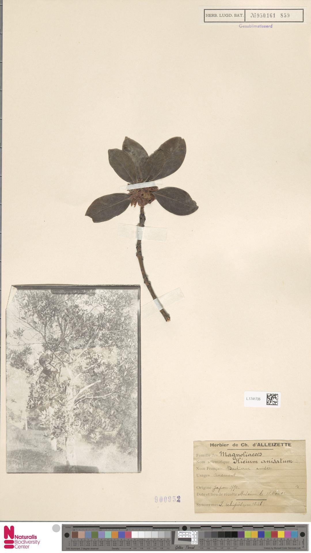 L.1741735   Illicium anisatum L.