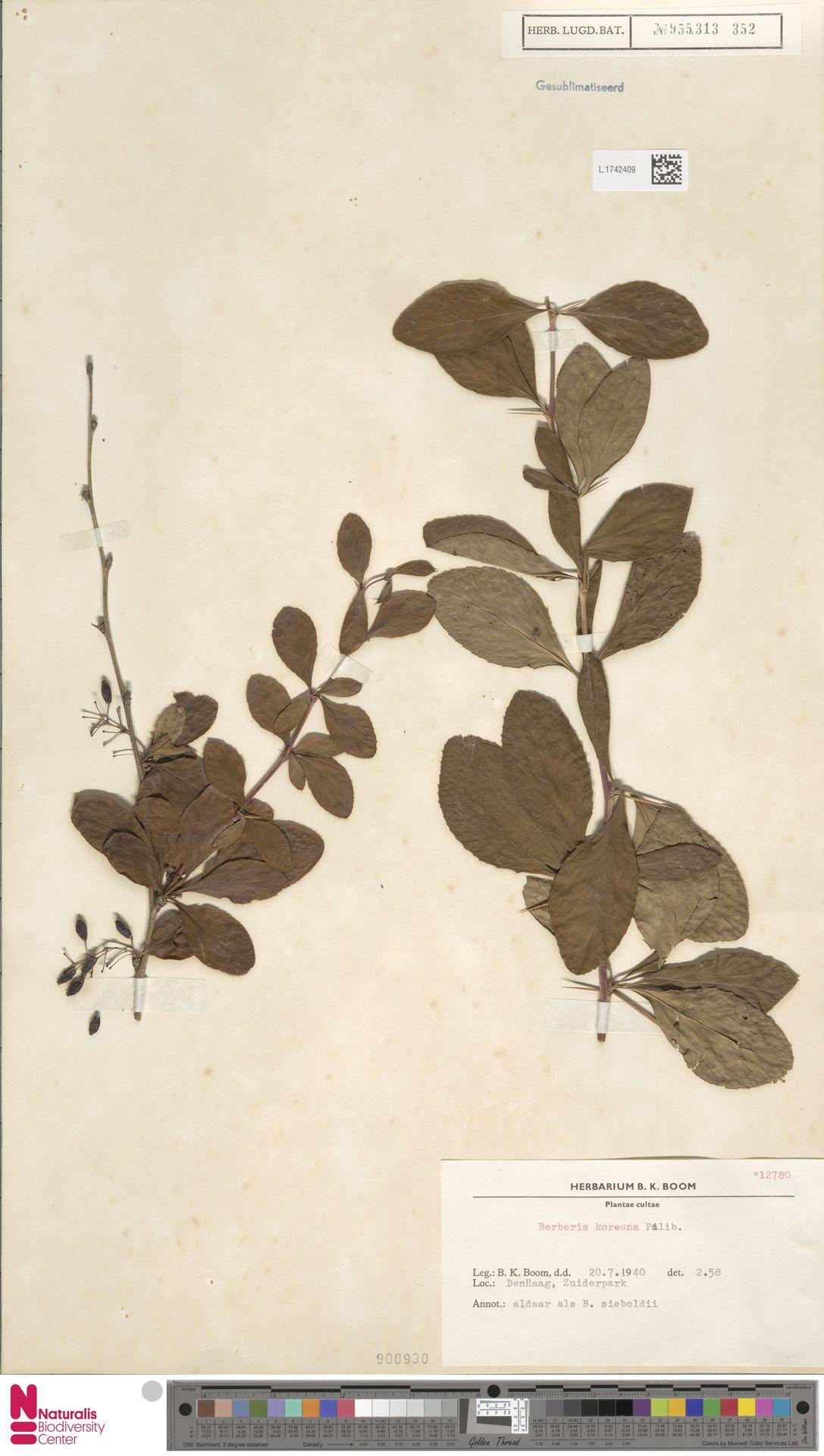 L.1742409 | Berberis koreana Palib.