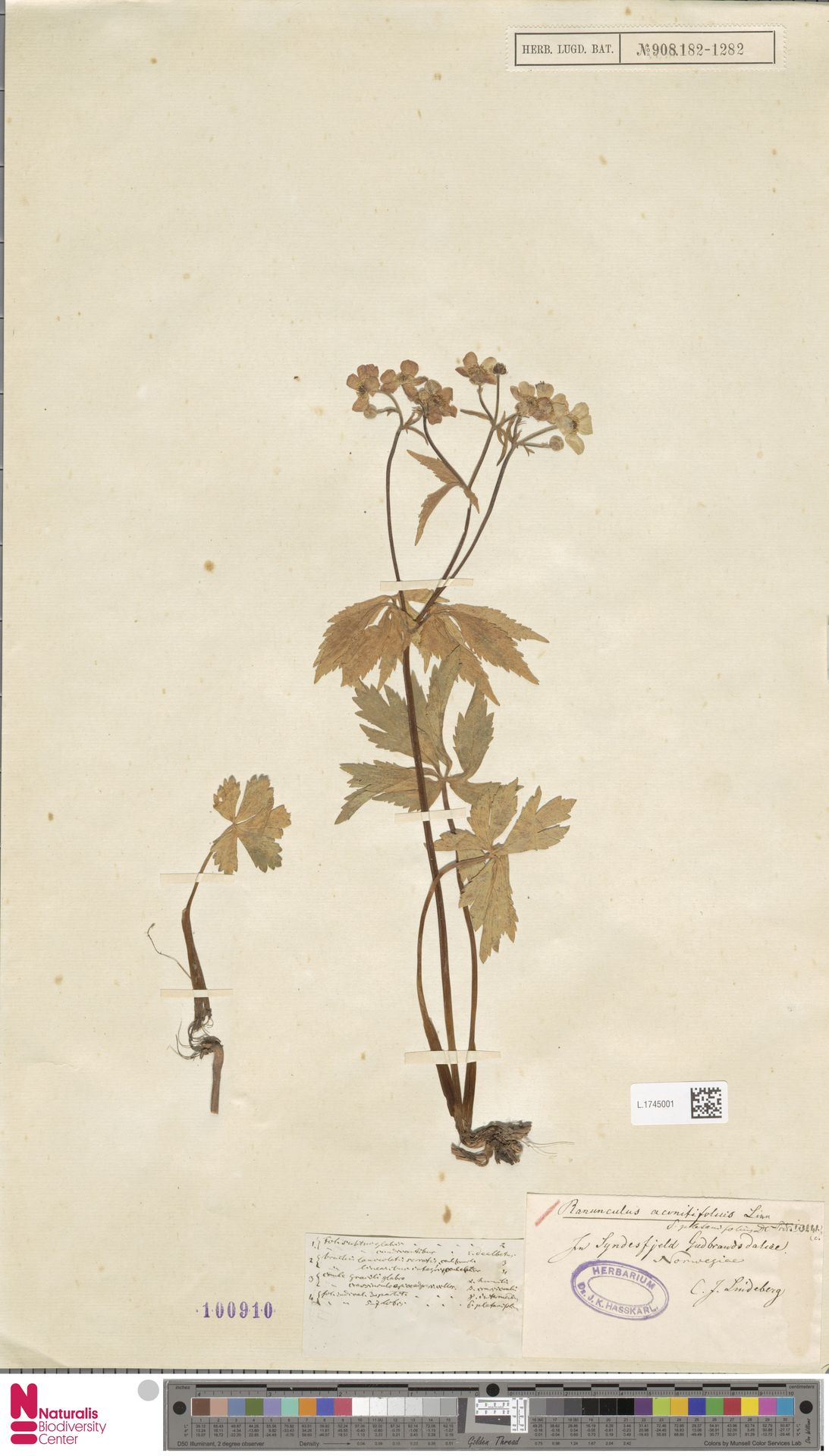 L.1745001 | Ranunculus aconitifolius L.