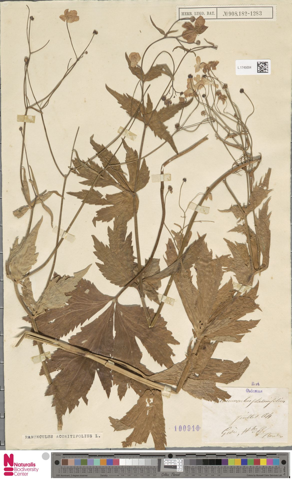L.1745004 | Ranunculus aconitifolius L.