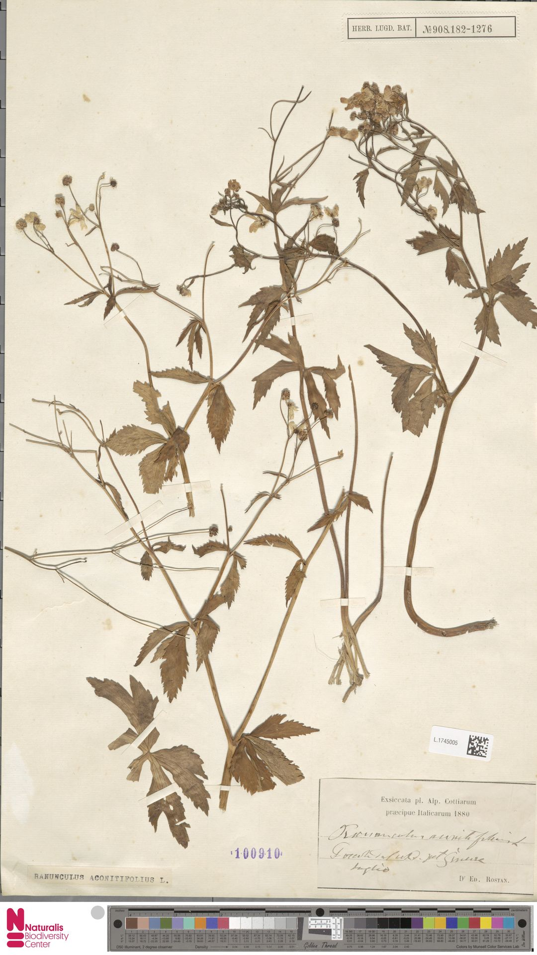 L.1745005 | Ranunculus aconitifolius L.