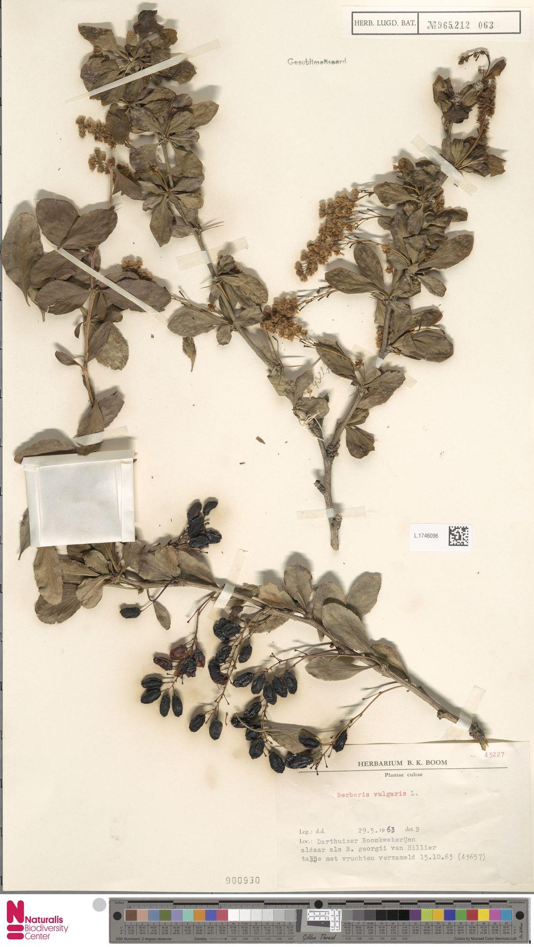 L.1746096   Berberis vulgaris L.