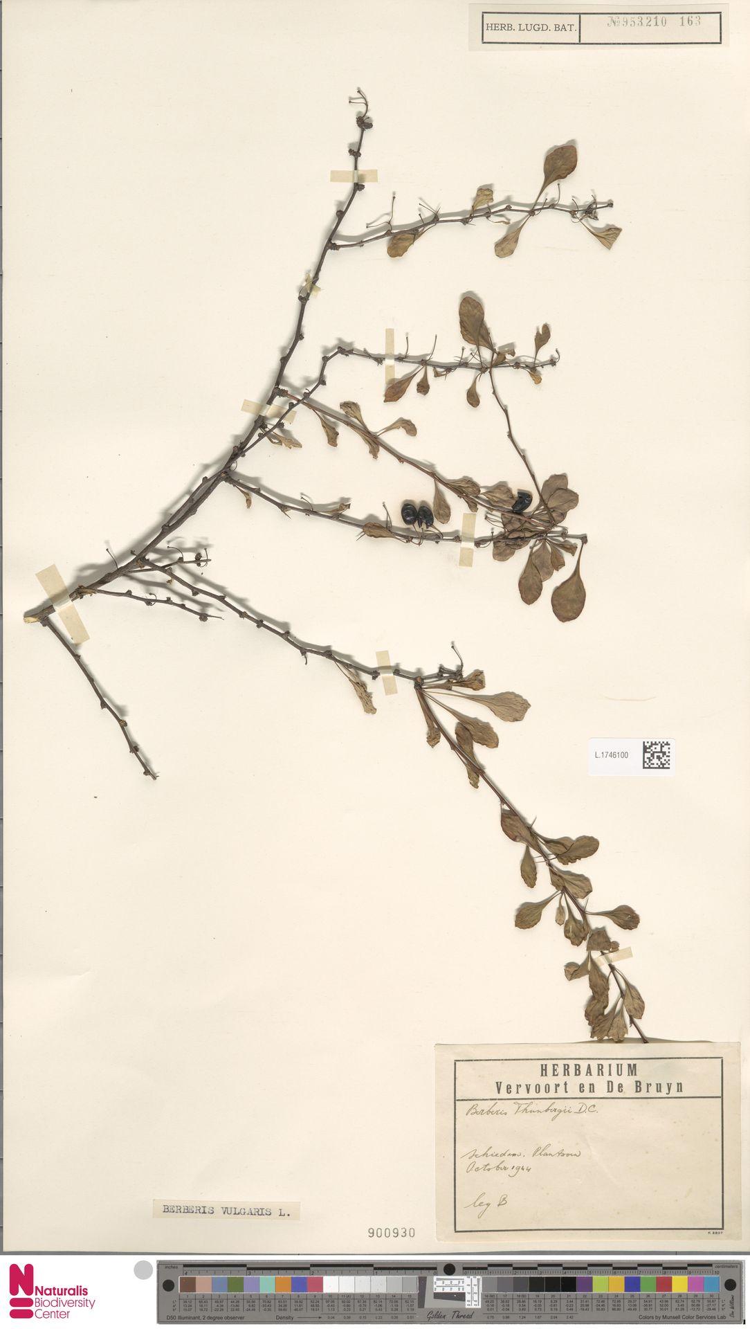 L.1746100 | Berberis vulgaris L.