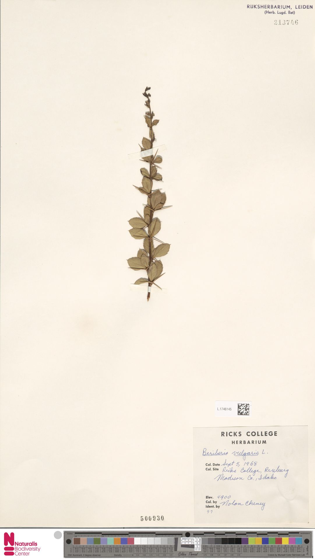 L.1746145   Berberis vulgaris L.