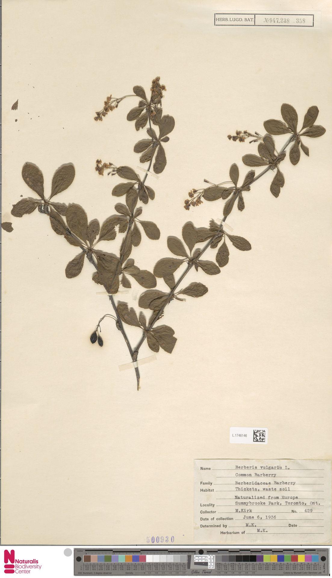 L.1746146 | Berberis vulgaris L.