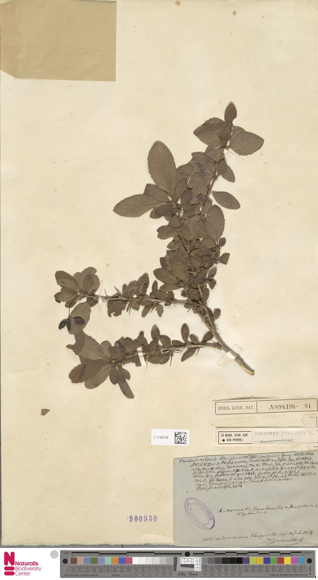 L.1746158 | Berberis vulgaris L.