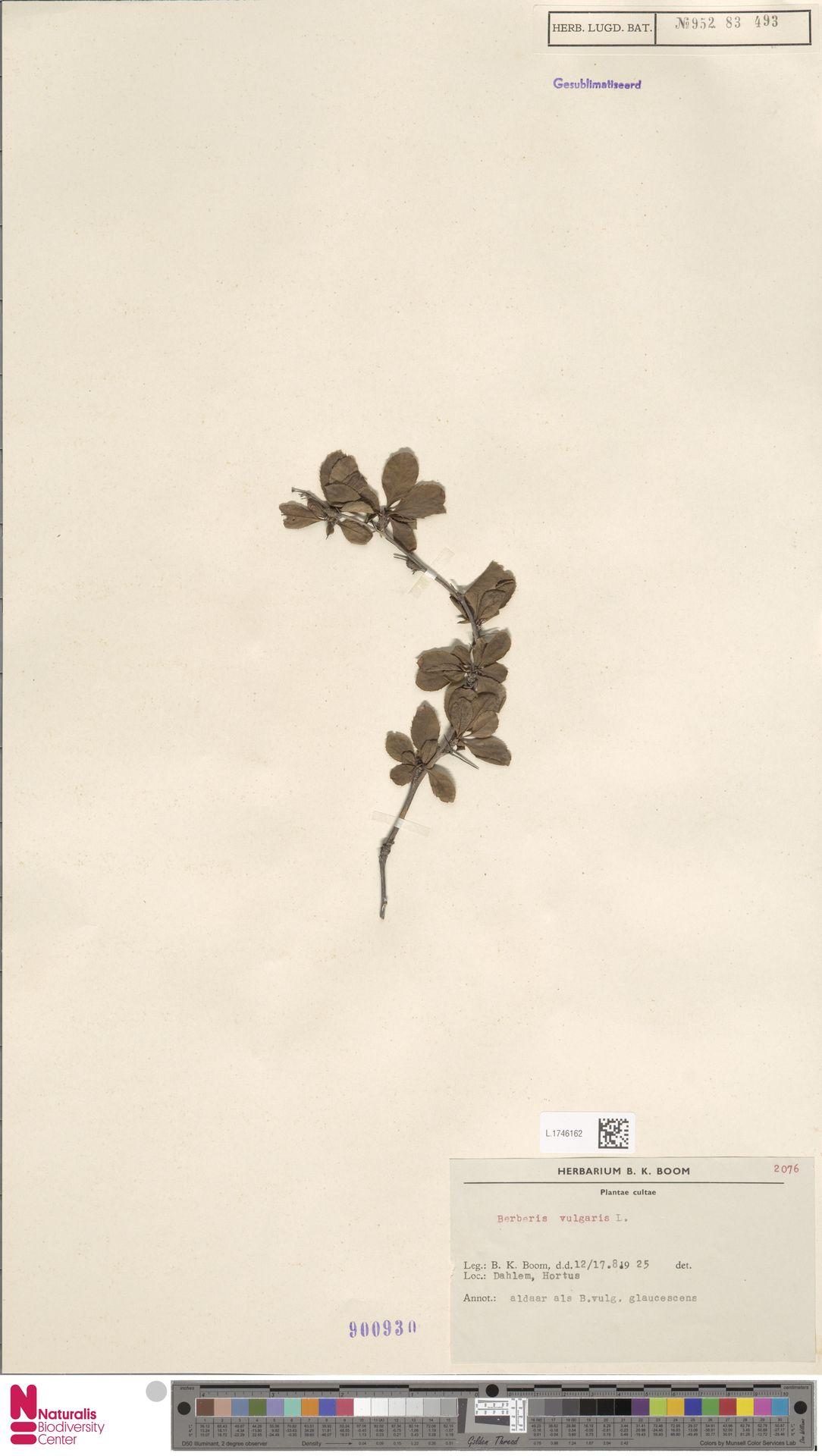 L.1746162 | Berberis vulgaris L.