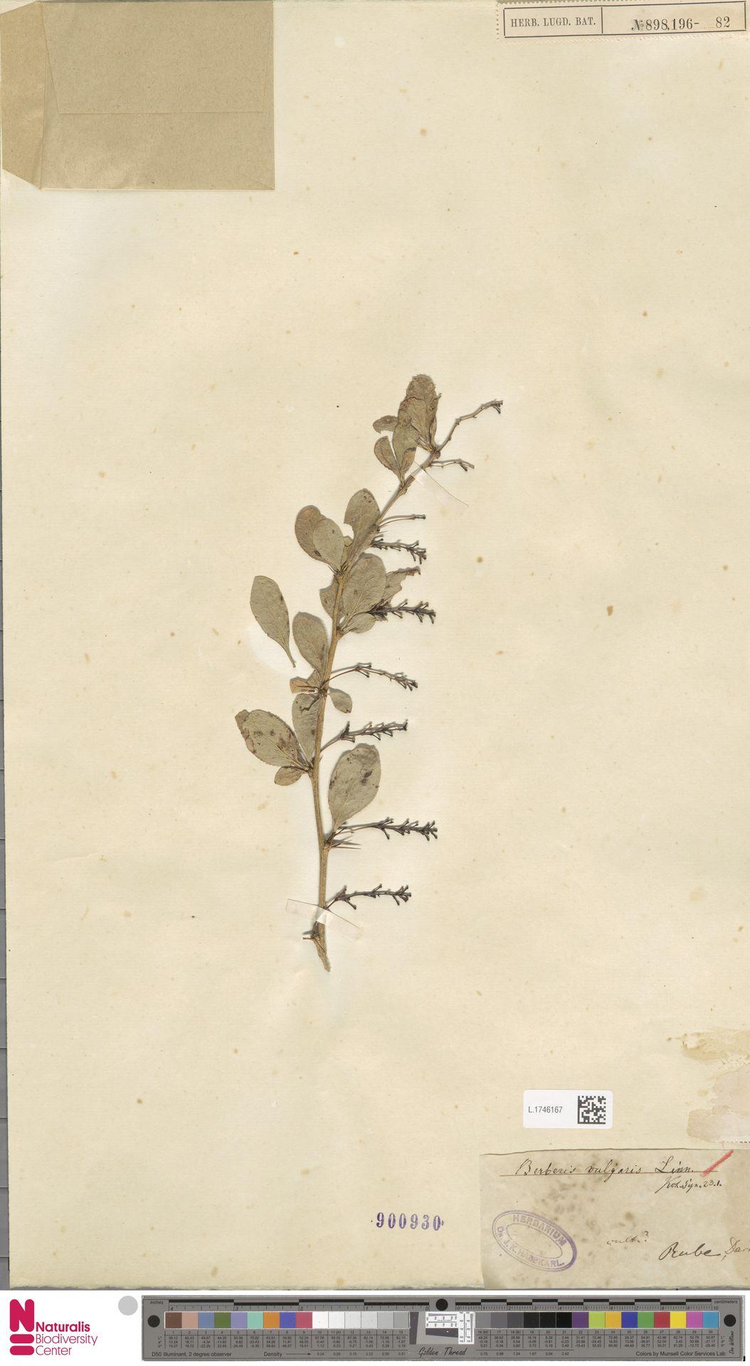 L.1746167 | Berberis vulgaris L.
