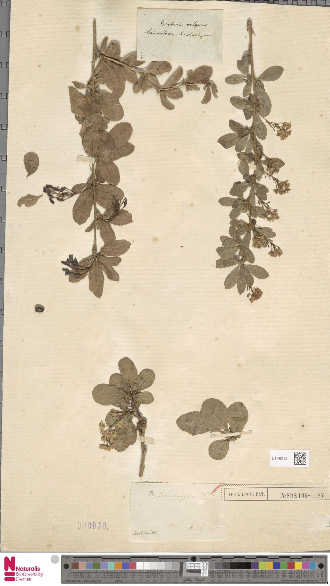 L.1746168   Berberis vulgaris L.