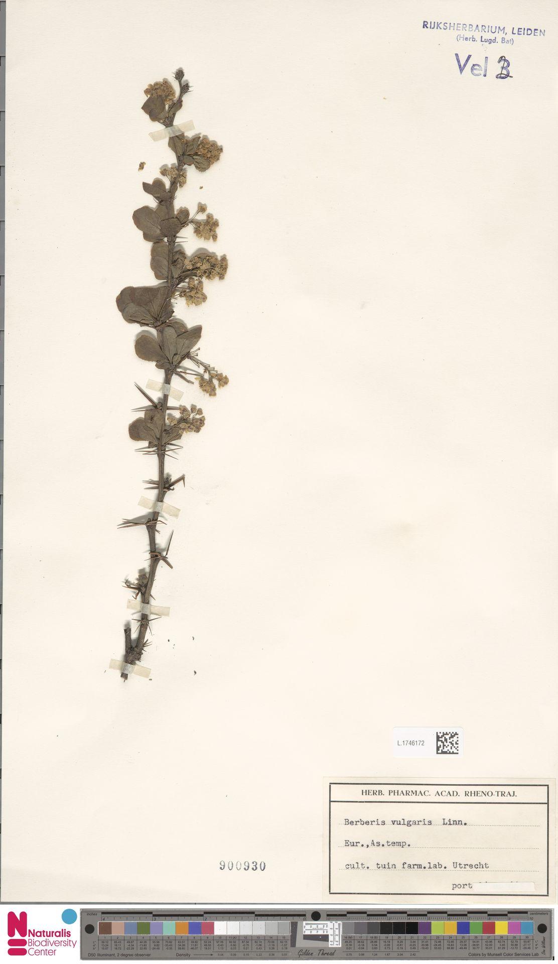 L.1746172 | Berberis vulgaris L.