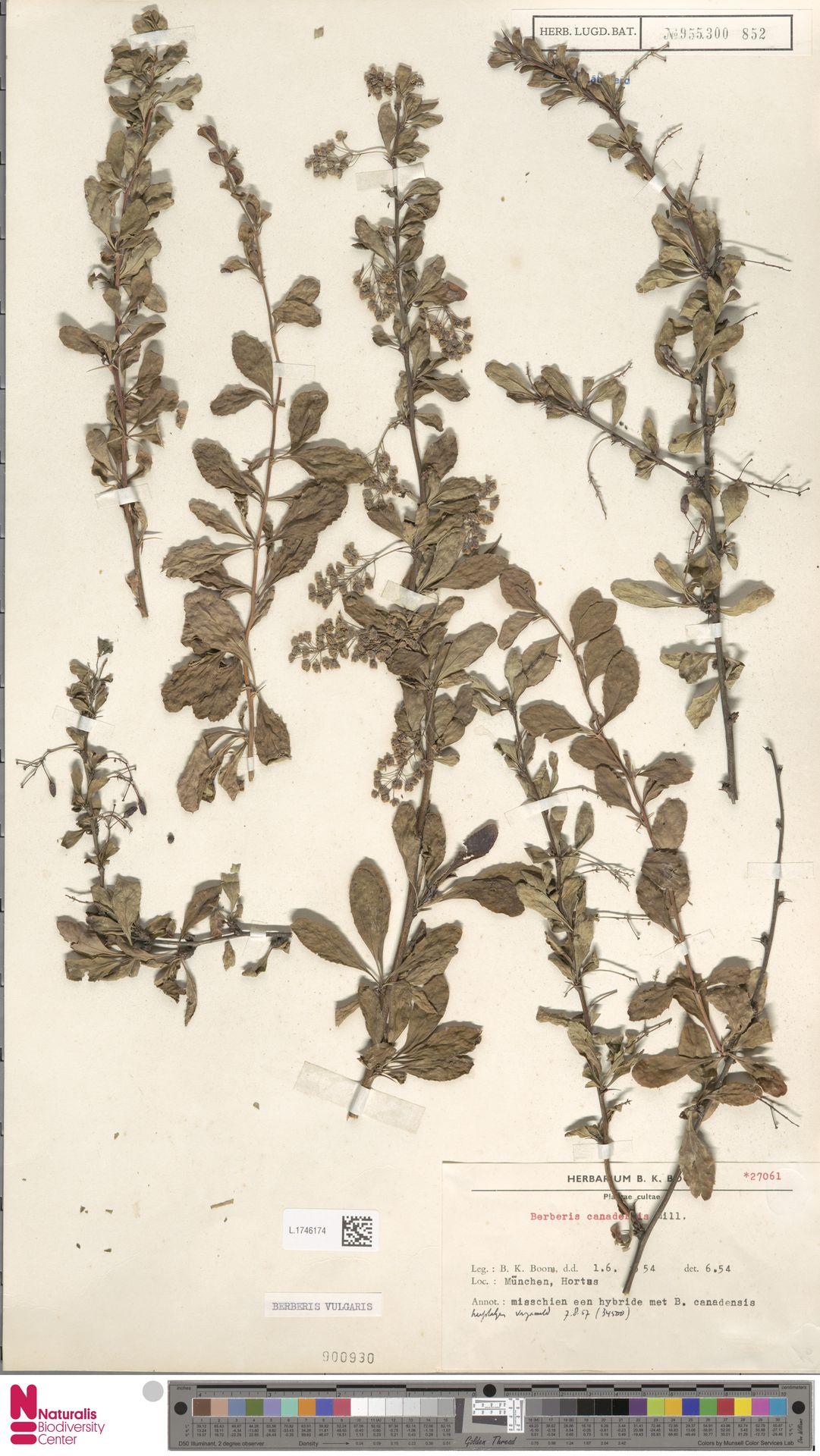 L.1746174 | Berberis vulgaris L.