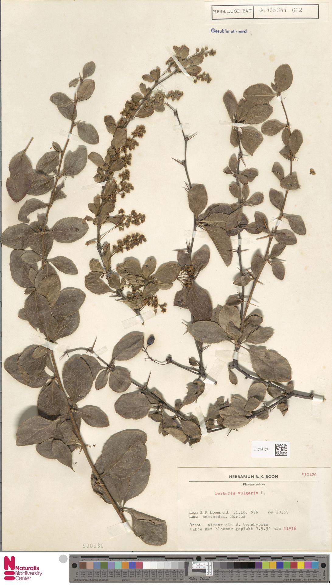 L.1746176 | Berberis vulgaris L.
