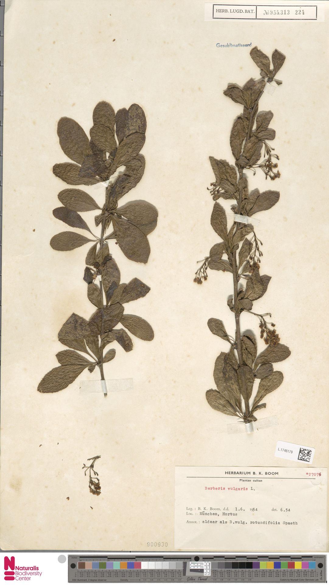 L.1746179 | Berberis vulgaris L.