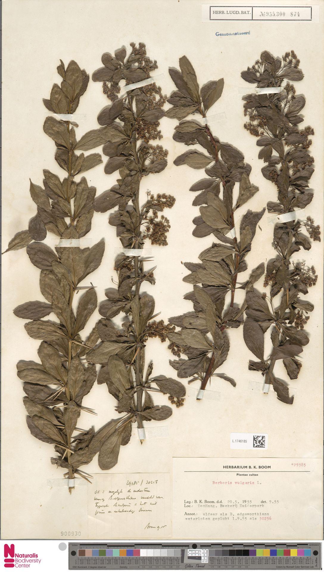L.1746185 | Berberis vulgaris L.