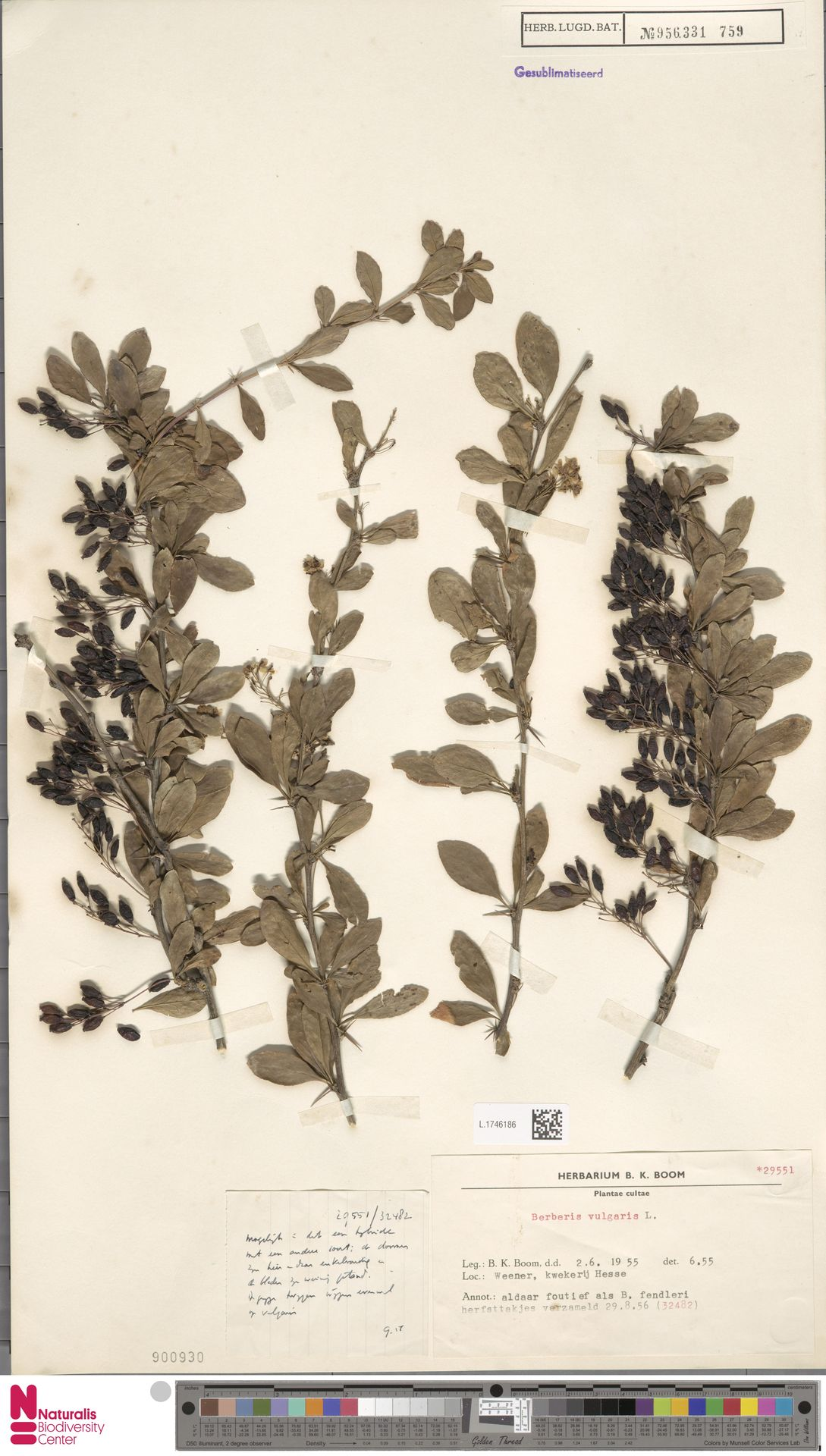 L.1746186 | Berberis vulgaris L.