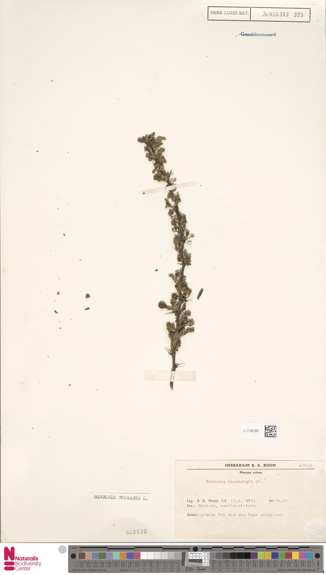 L.1746189 | Berberis vulgaris L.