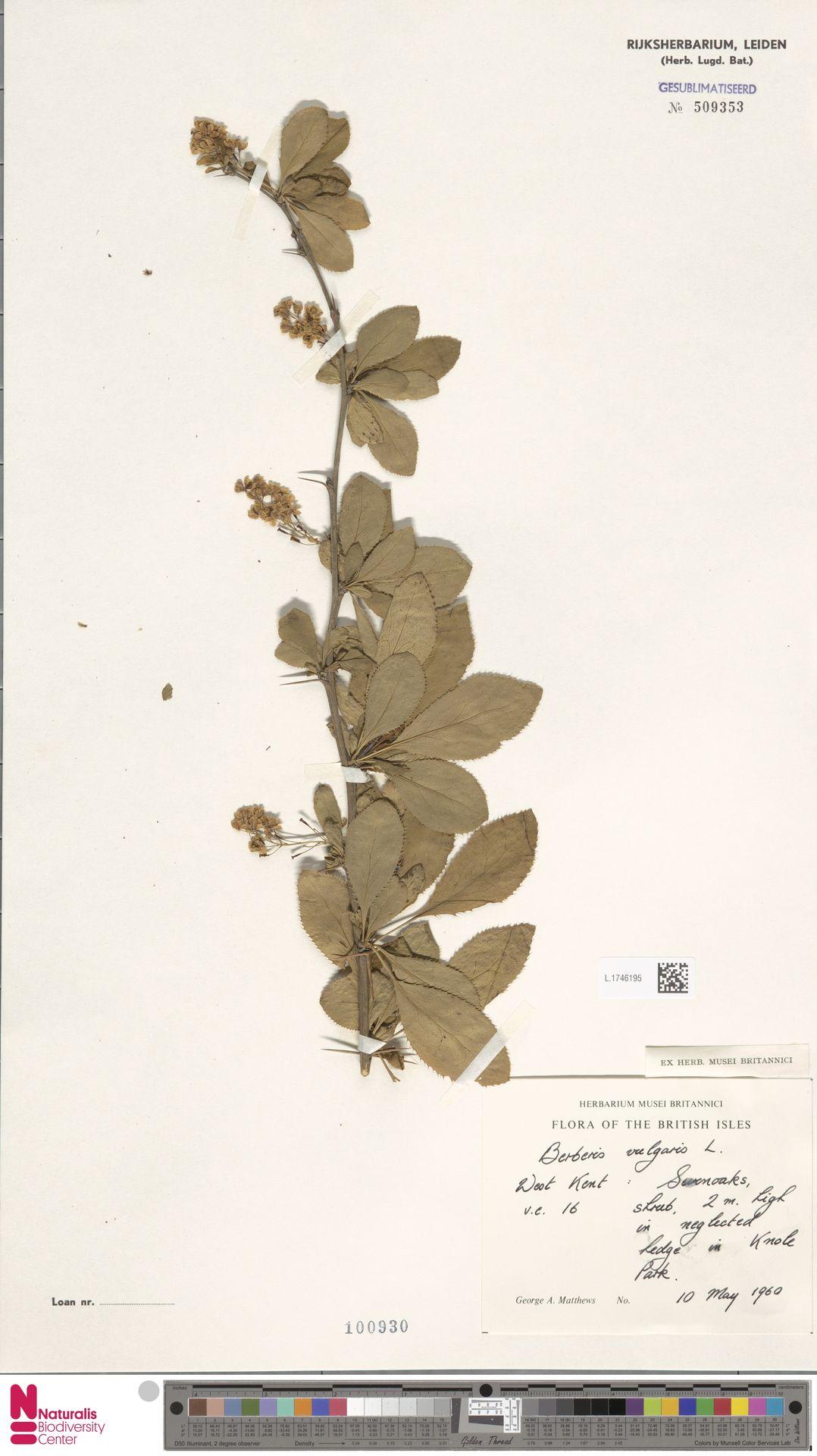 L.1746195 | Berberis vulgaris L.