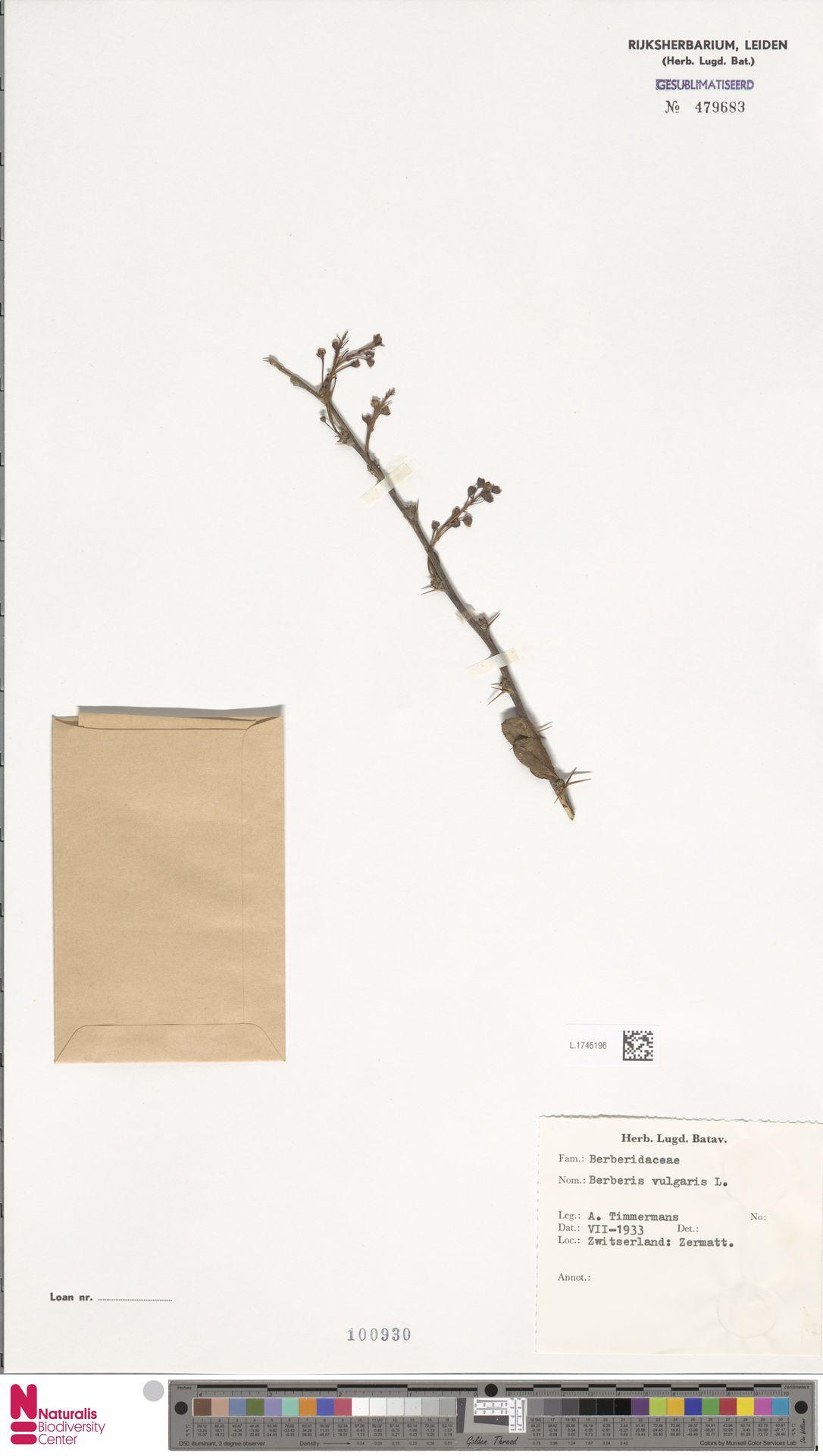 L.1746196   Berberis vulgaris L.
