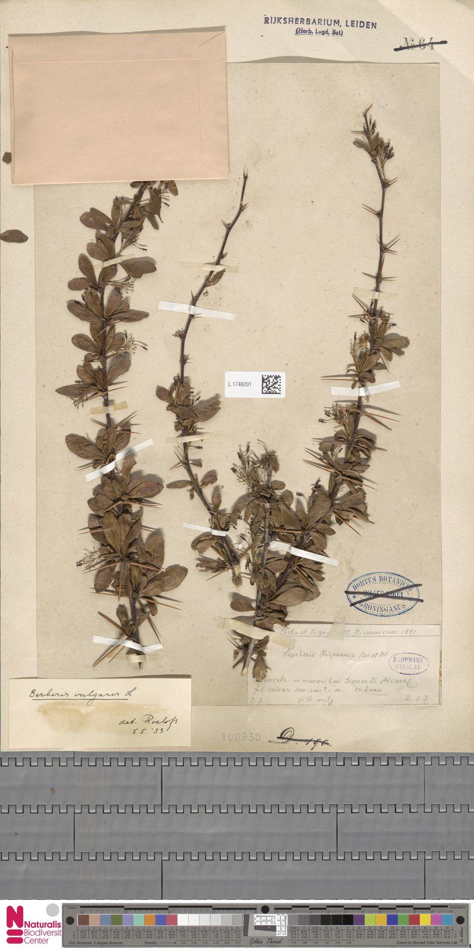 L.1746201 | Berberis vulgaris L.