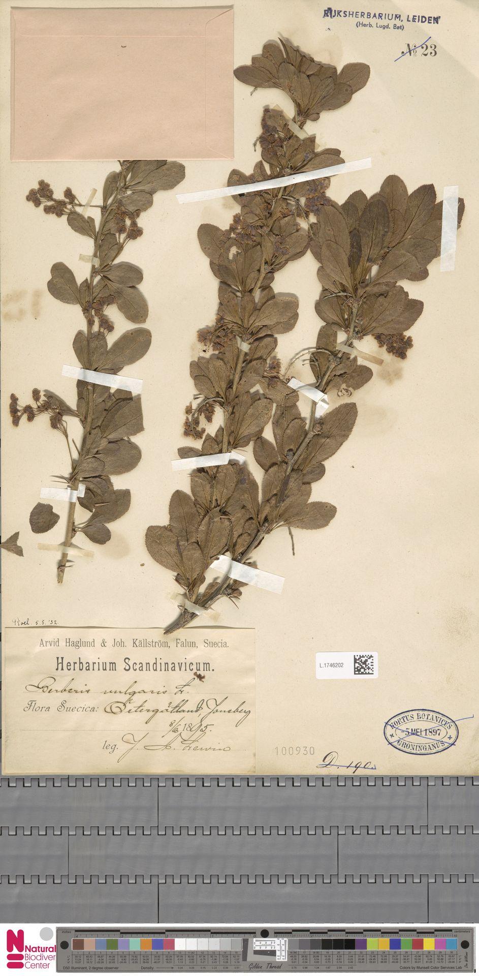 L.1746202 | Berberis vulgaris L.