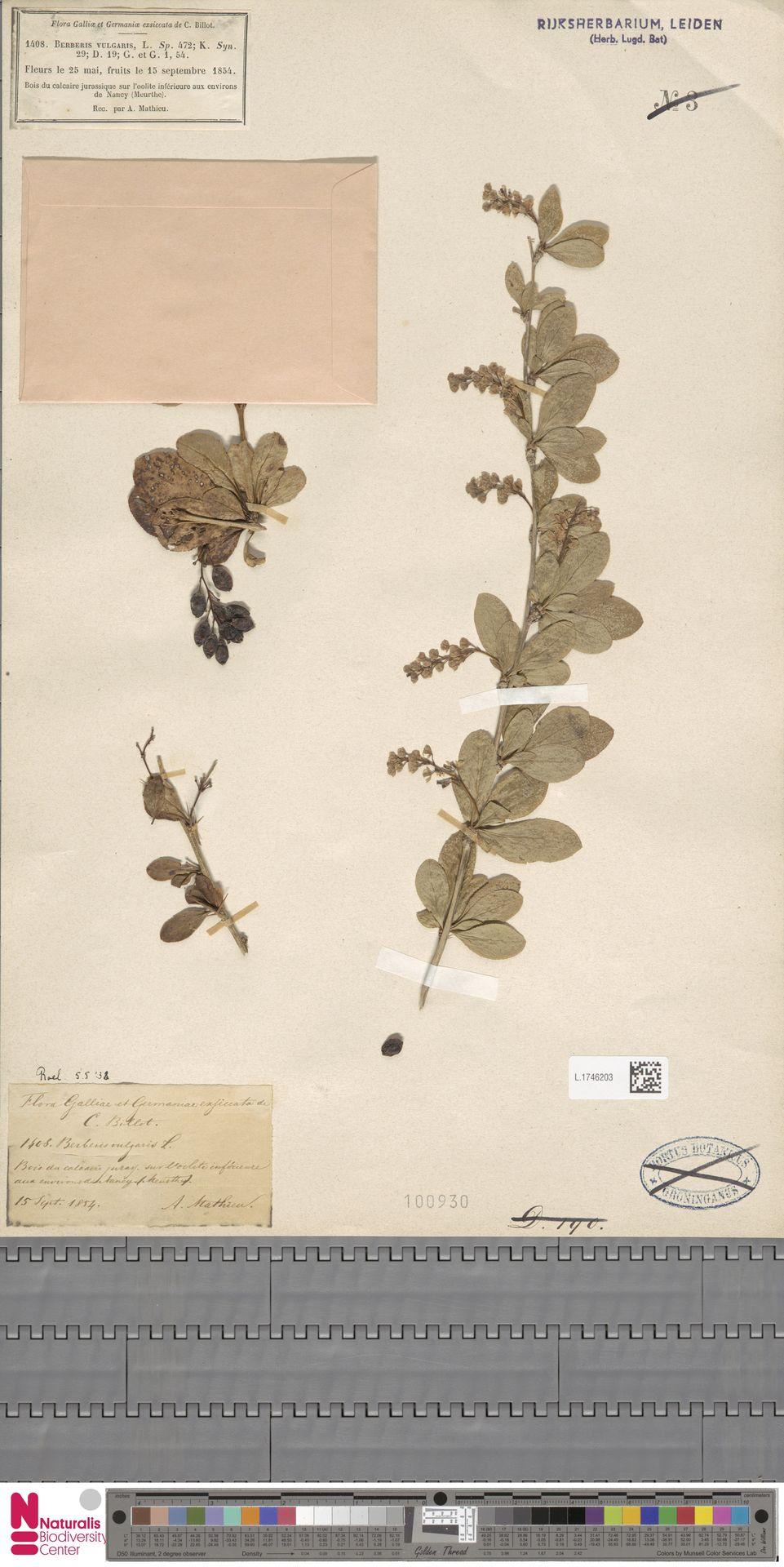 L.1746203 | Berberis vulgaris L.