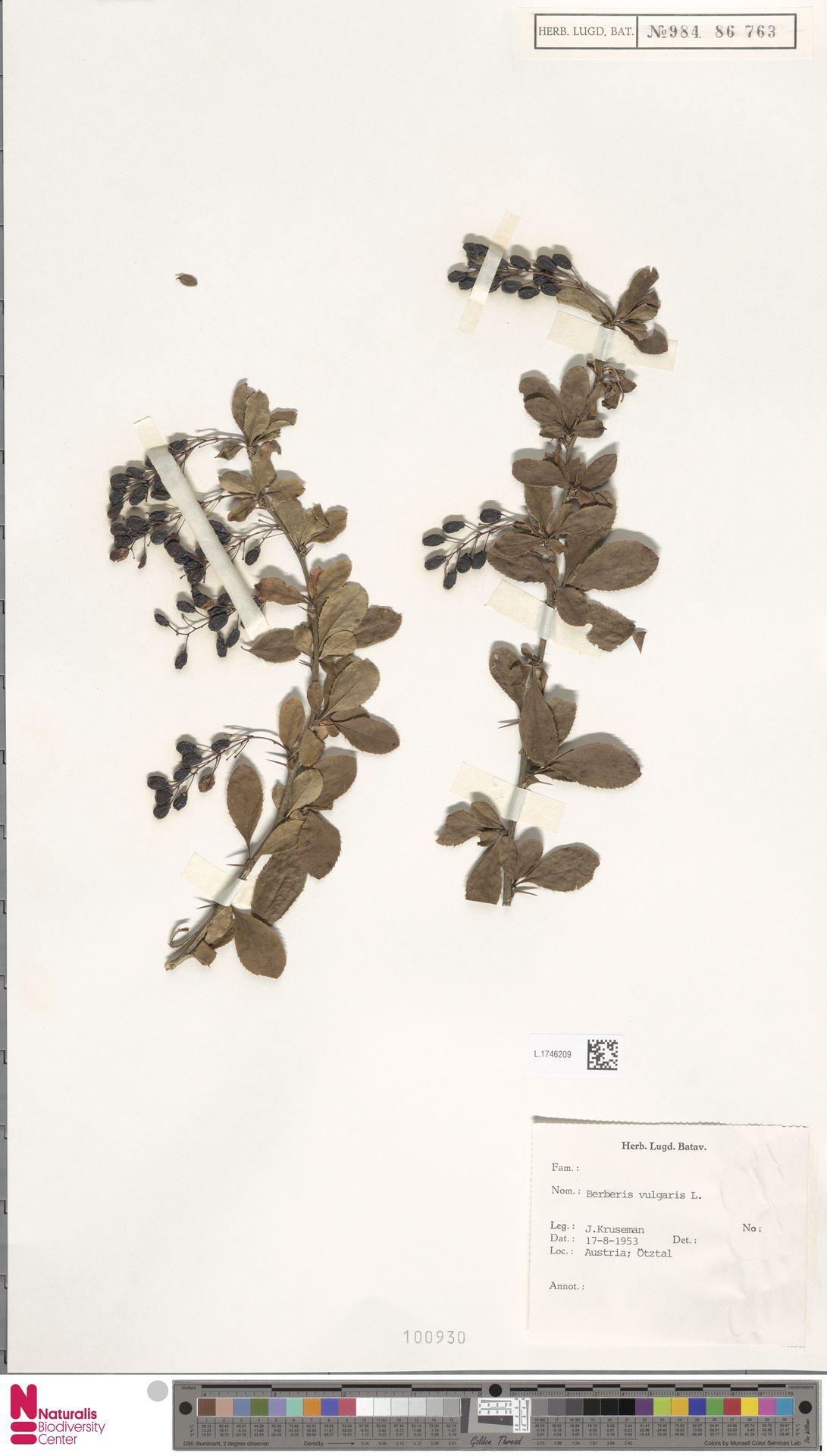 L.1746209 | Berberis vulgaris L.