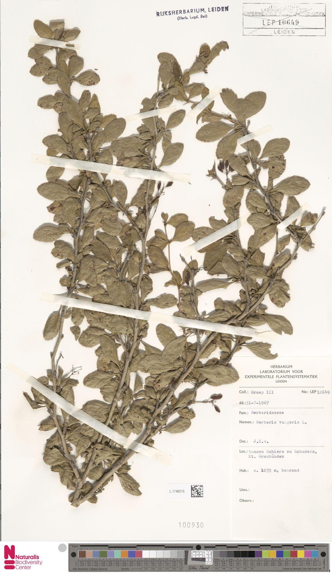 L.1746215 | Berberis vulgaris L.