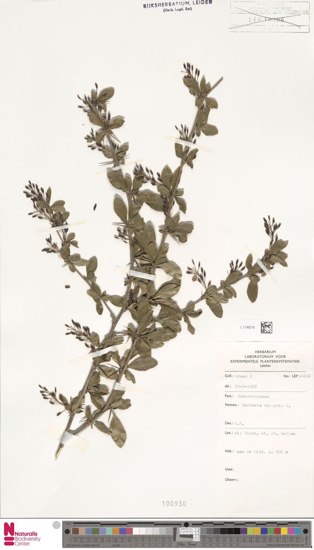 L.1746216   Berberis vulgaris L.