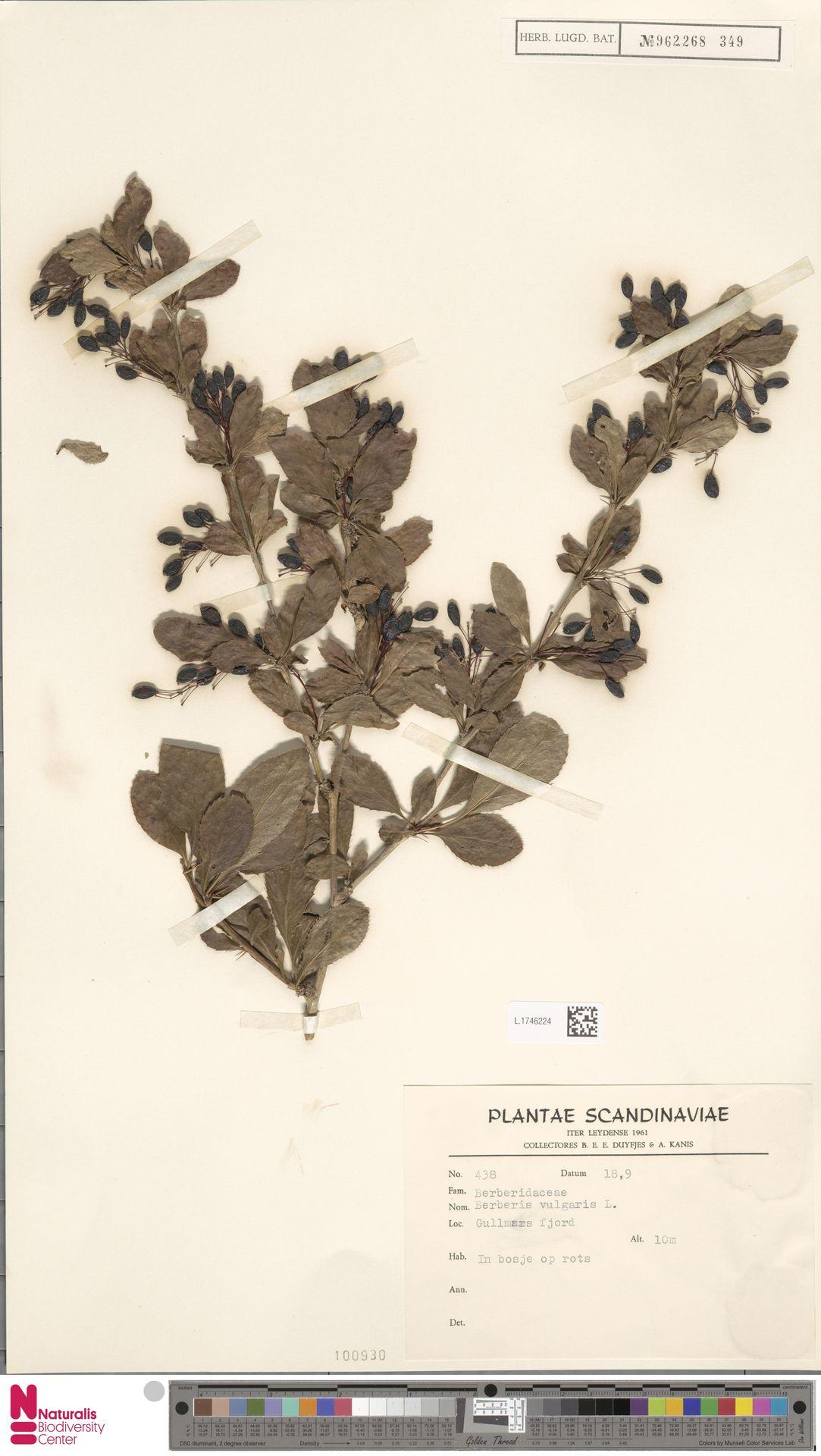 L.1746224 | Berberis vulgaris L.