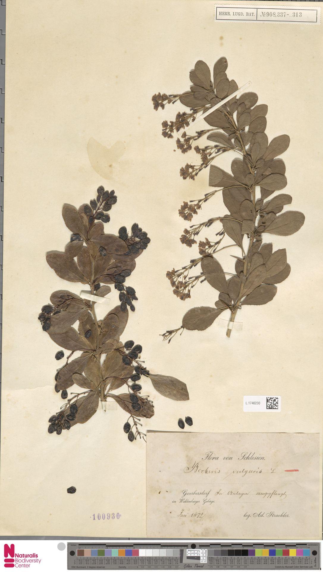 L.1746230 | Berberis vulgaris L.