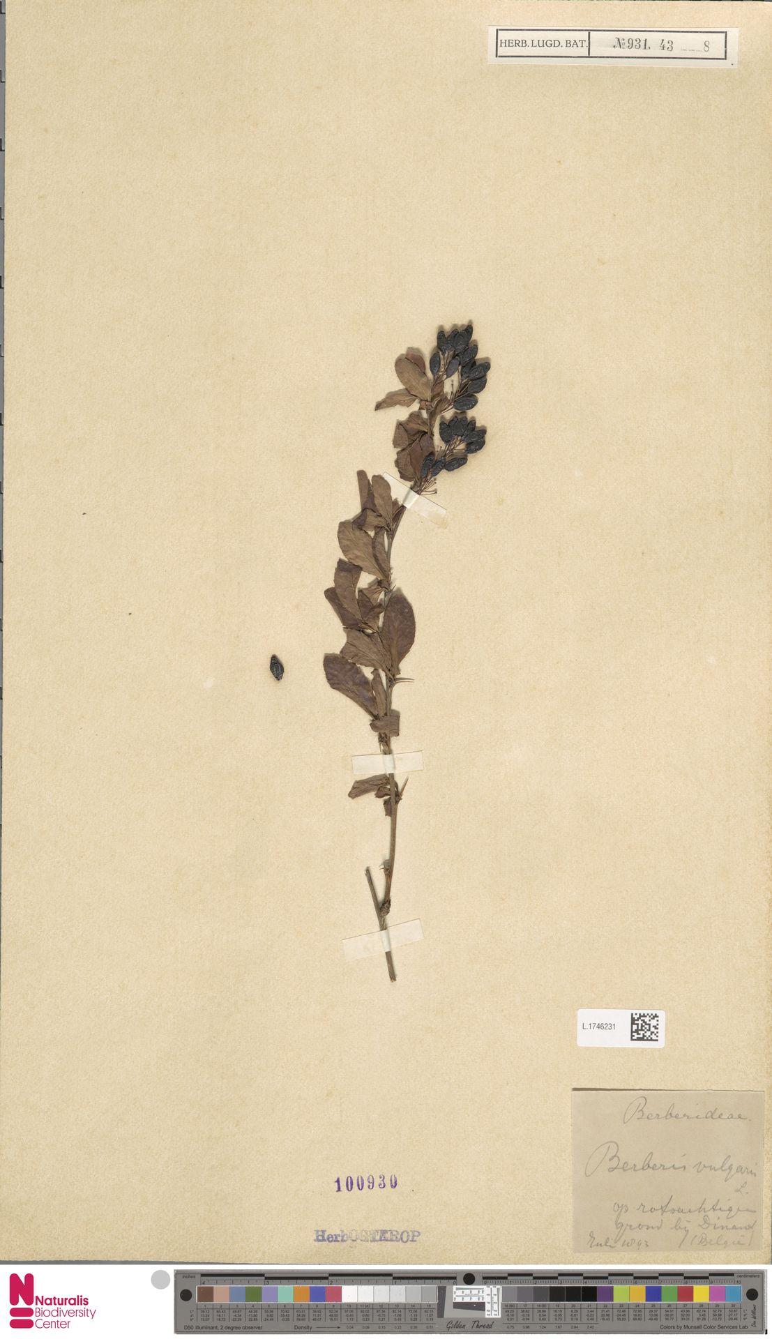 L.1746231 | Berberis vulgaris L.