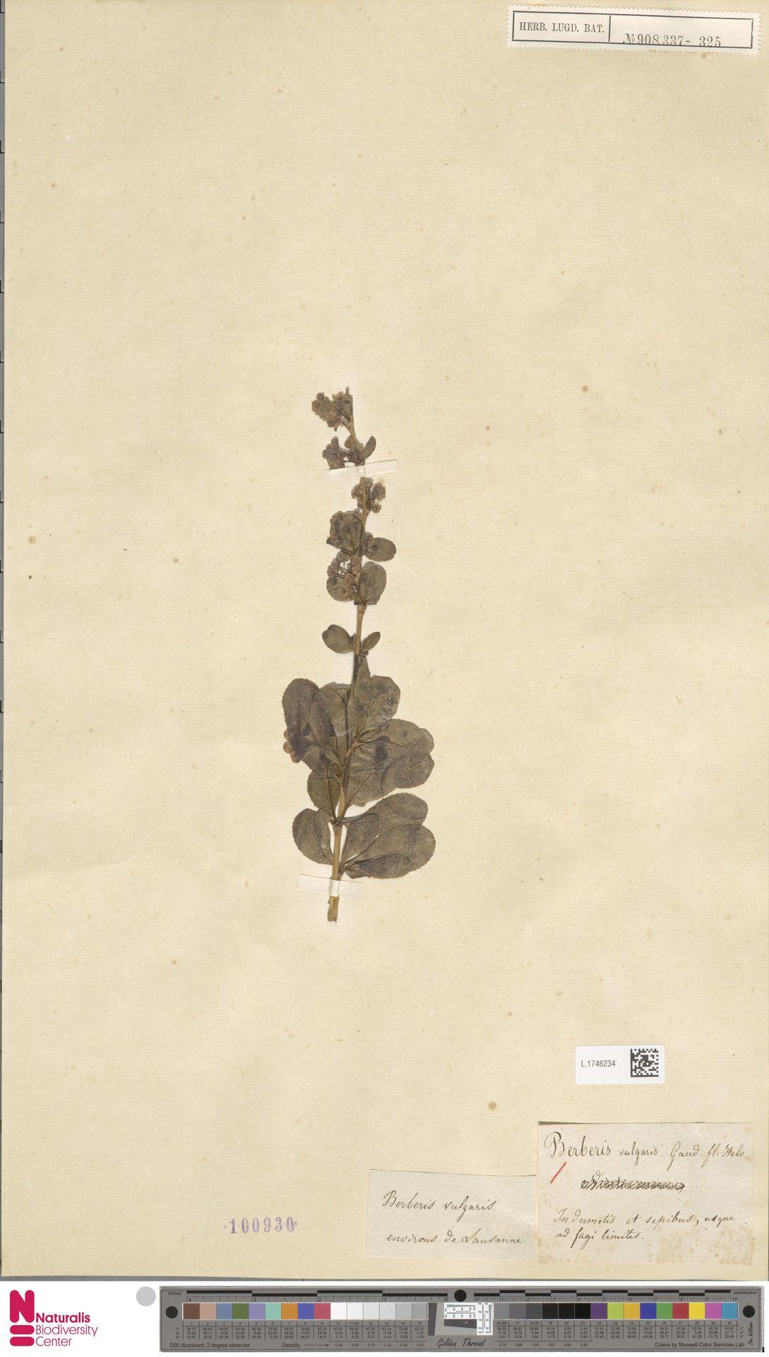 L.1746234 | Berberis vulgaris L.