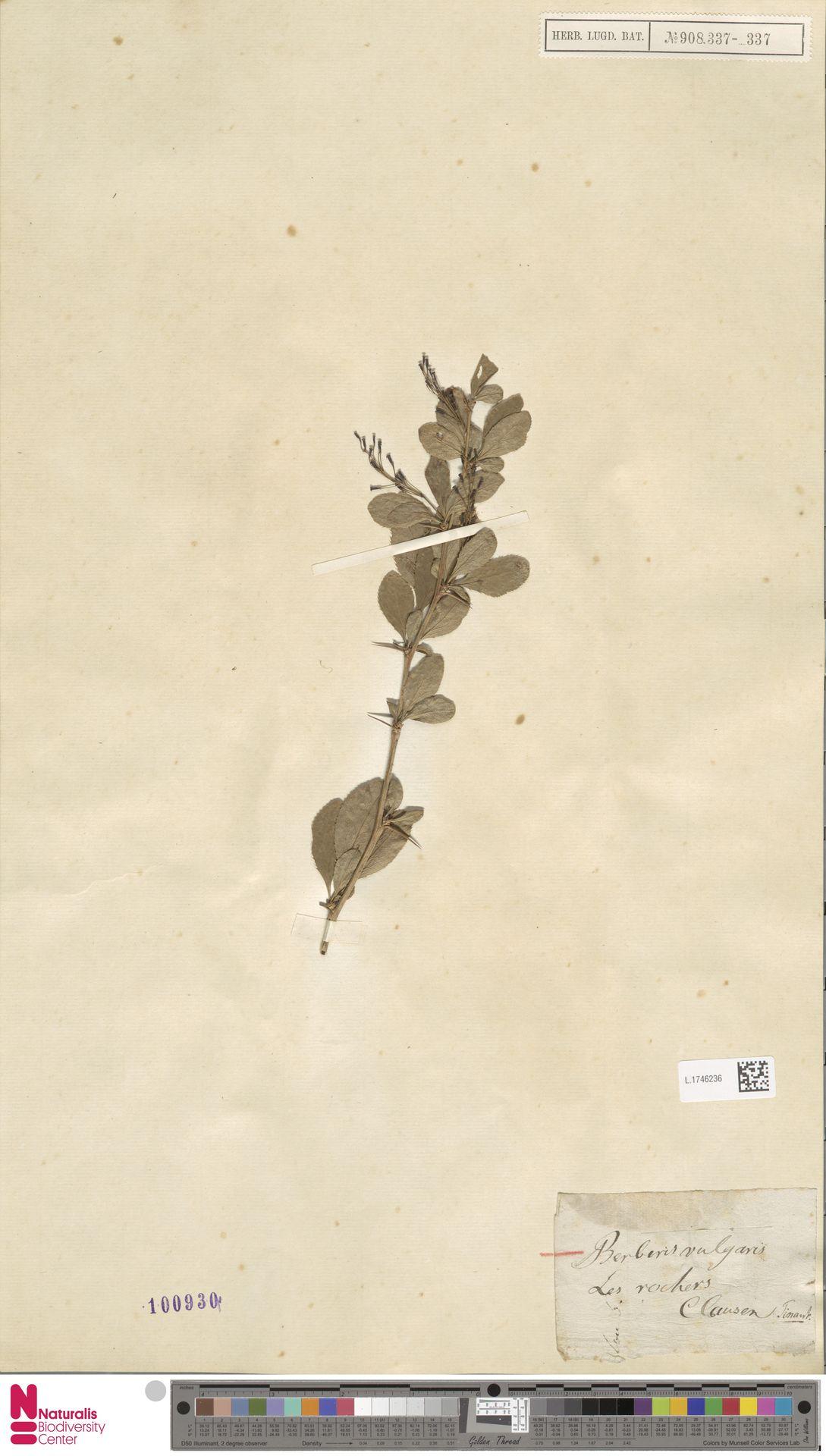 L.1746236 | Berberis vulgaris L.