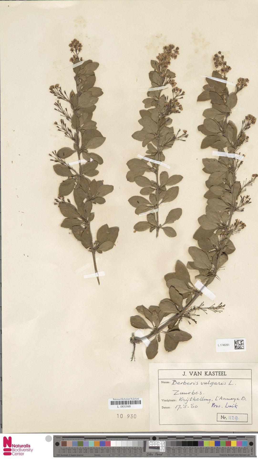 L.1746261 | Berberis vulgaris L.