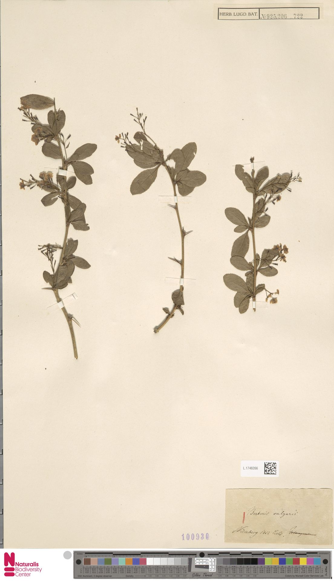 L.1746266 | Berberis vulgaris L.
