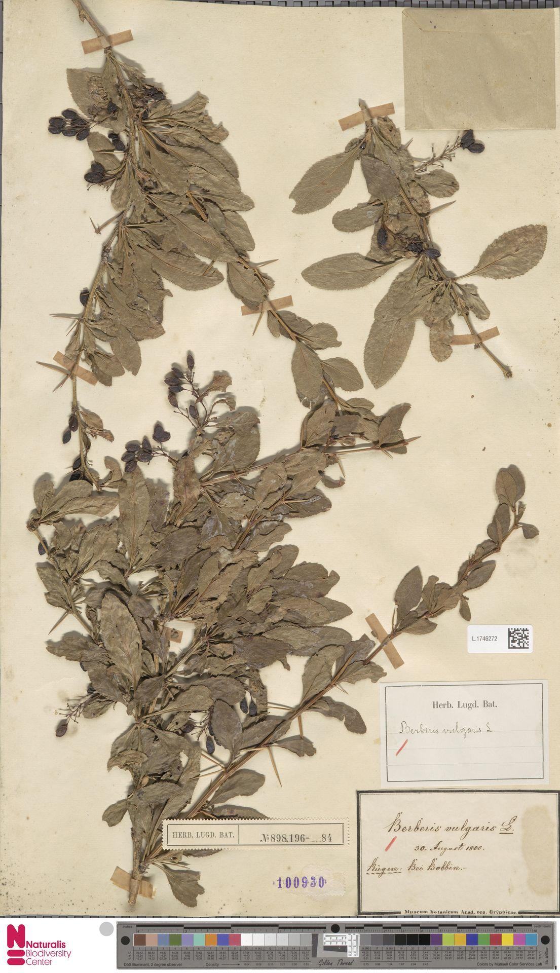 L.1746272 | Berberis vulgaris L.