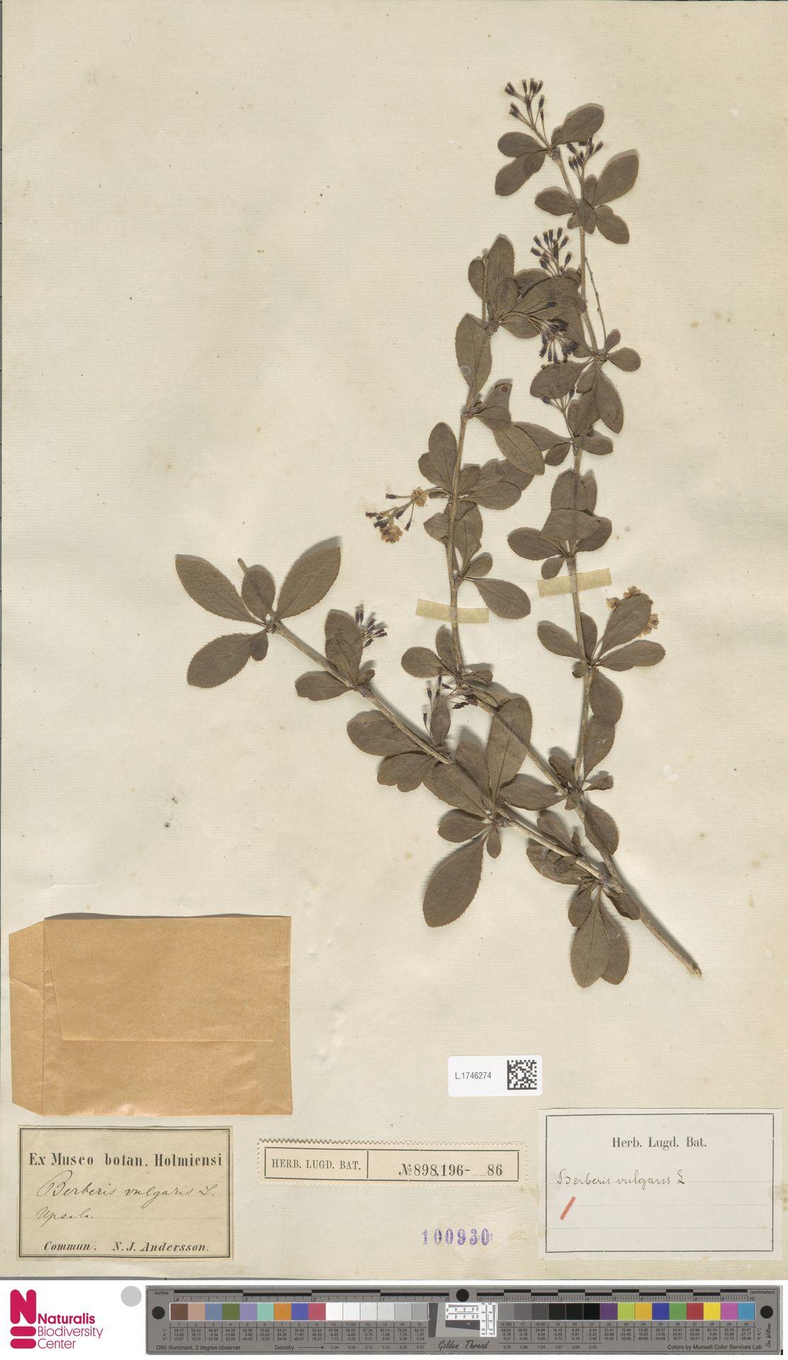 L.1746274   Berberis vulgaris L.