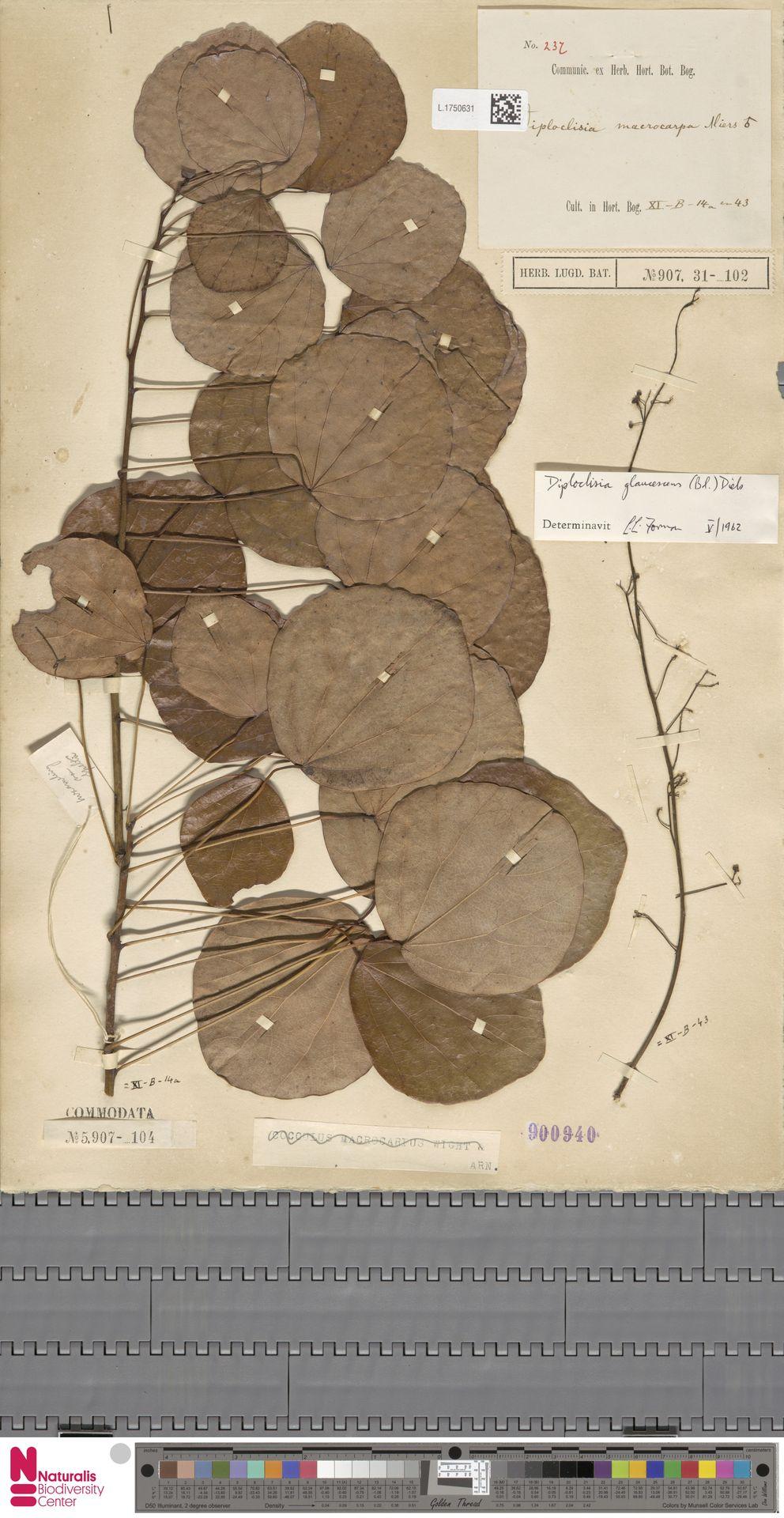 L.1750631 | Diploclisia glaucescens (Blume) Diels