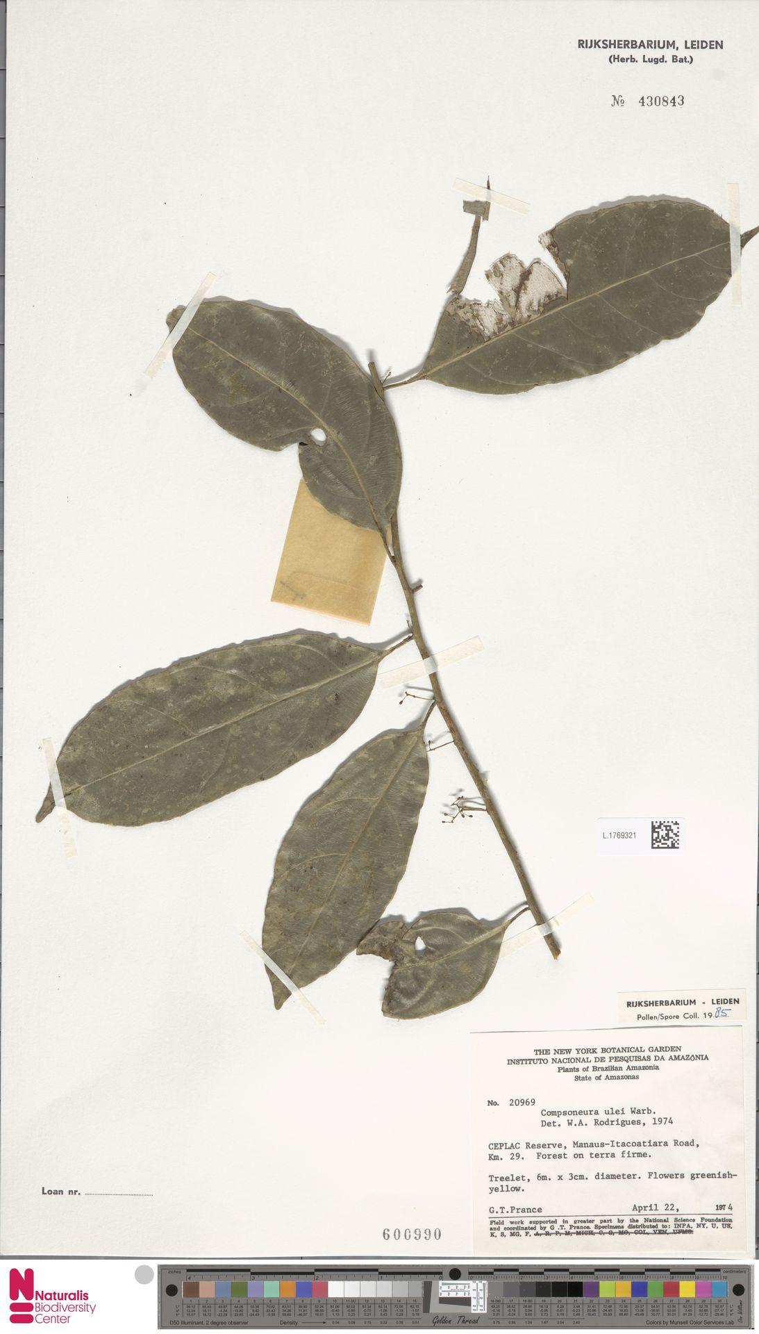 L.1769321 | Compsoneura ulei Warb.