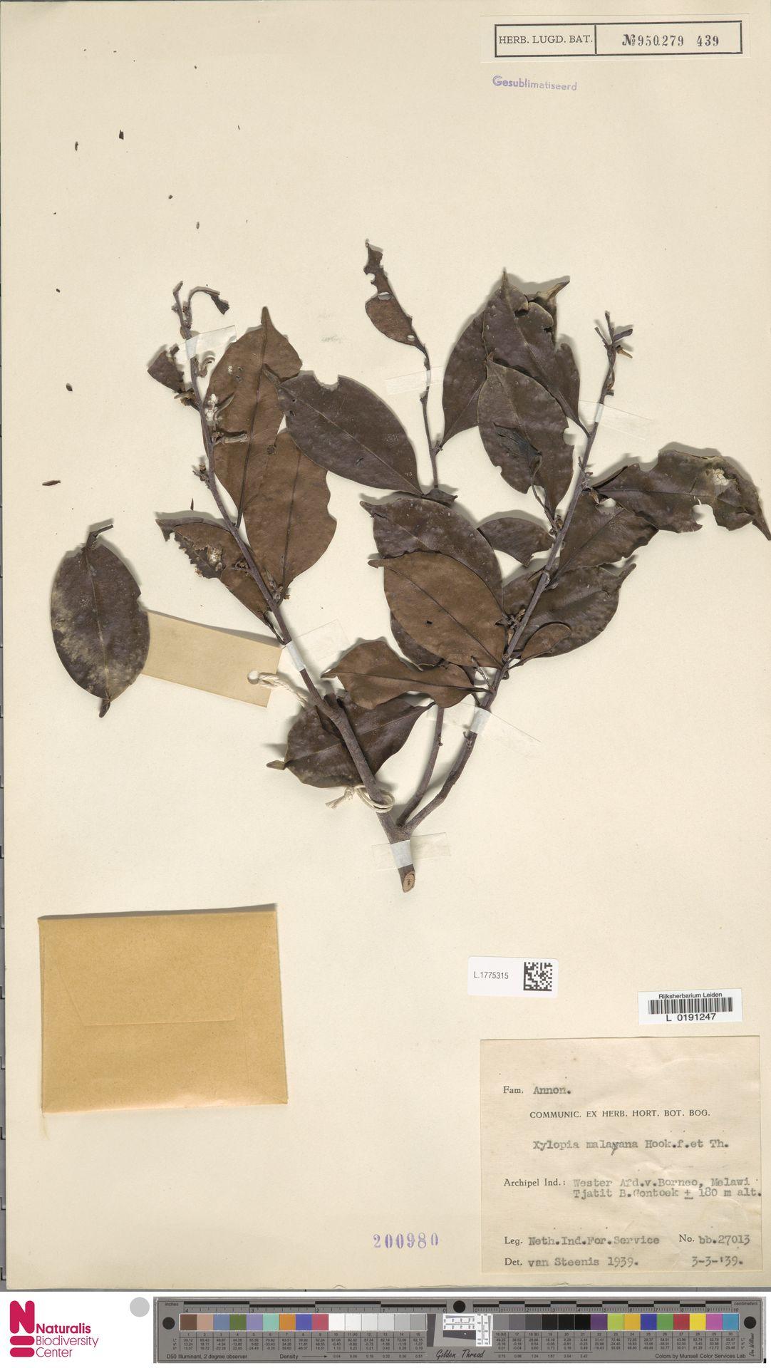 L.1775315 | Xylopia malayana Hook.f. & Thomson