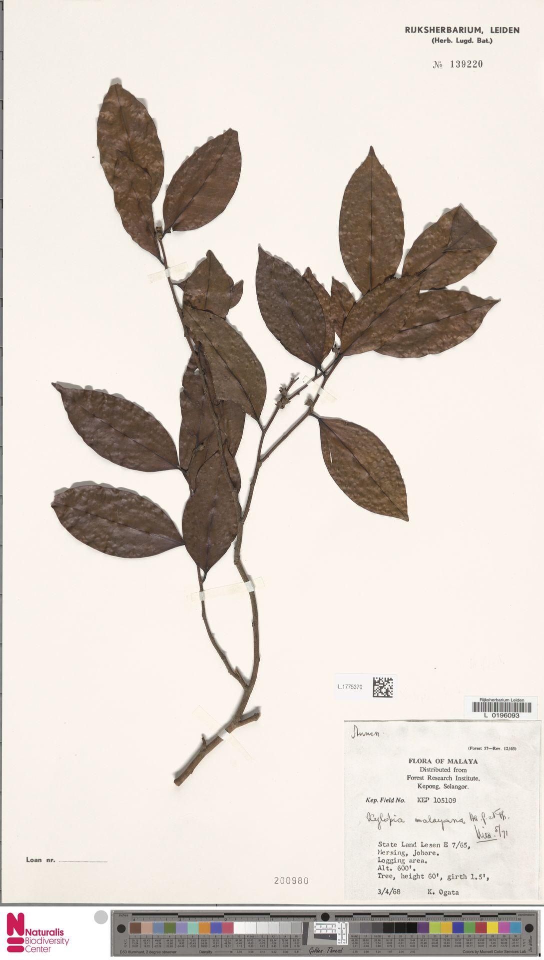 L.1775370 | Xylopia malayana Hook.f. & Thomson