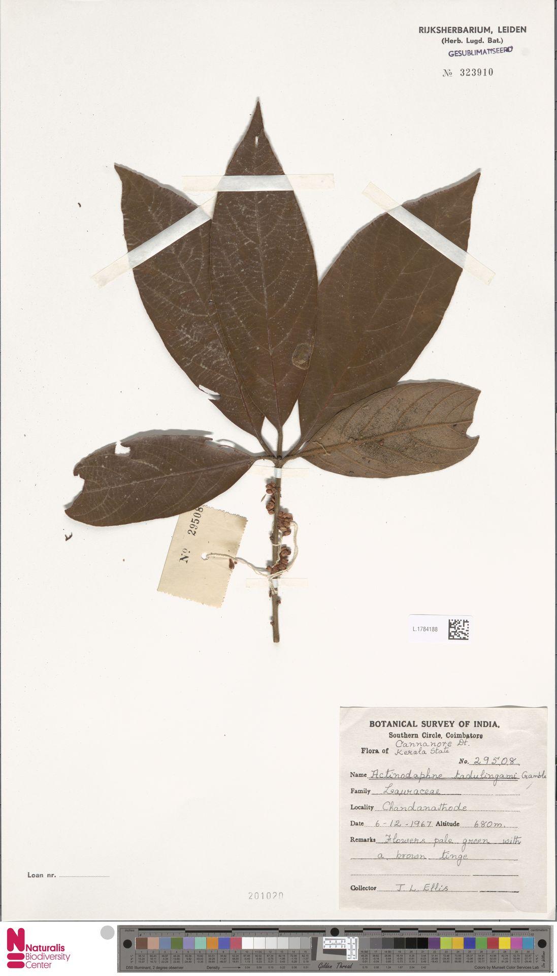 L.1784188 | Actinodaphne tadulingamii Gamble