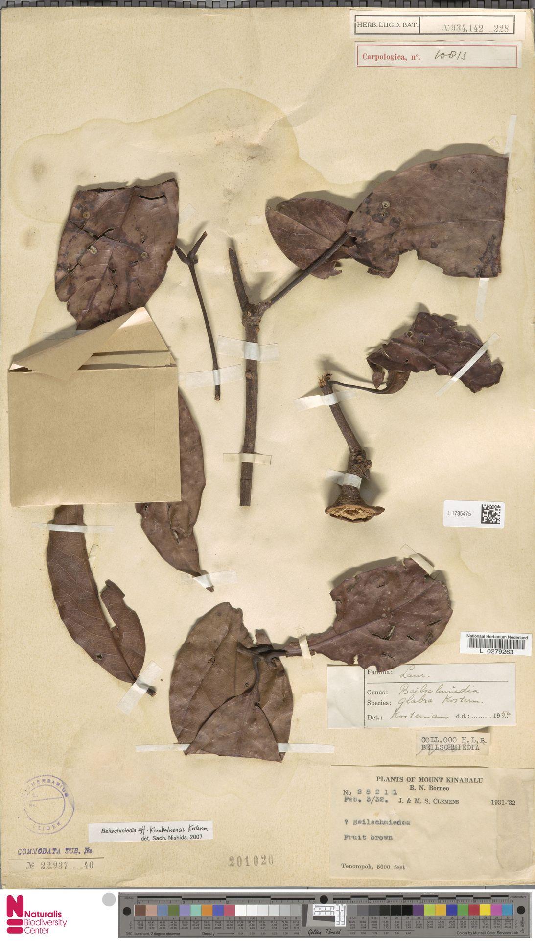 L.1785475   Beilschmiedia kinabaluensis Kosterm.